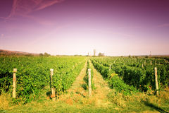 Paisaje colorido del viñedo Fotos de archivo