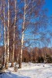 Paisaje con el bosque del abedul en invierno Fotos de archivo libres de regalías