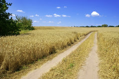 Paisaje con el camino en el campo de trigo Fotos de archivo libres de regalías