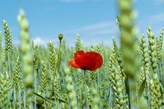 Paisaje con el campo de amapolas rojas Imagenes de archivo