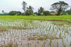 Paisaje con el campo joven del arroz en Tailandia Imagenes de archivo