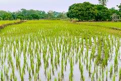 Paisaje con el campo joven del arroz en Tailandia Foto de archivo