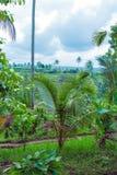 Paisaje con el campo y la selva, Bali del arroz Foto de archivo