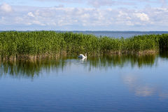 Paisaje con el cisne Foto de archivo libre de regalías