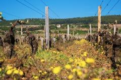 Paisaje con el viñedo en un día de primavera soleado Foto de archivo libre de regalías