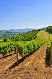 Paisaje con el viñedo Imagen de archivo libre de regalías