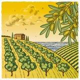 Paisaje con la arboleda verde oliva Imágenes de archivo libres de regalías