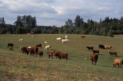 Paisaje con la manada de ganado Foto de archivo libre de regalías