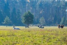 Paisaje con la situación de los ciervos de huevas al borde del bosque cerca de las vacas de pasto en la niebla de la mañana imagen de archivo