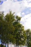 Paisaje con los árboles de abedul jovenes Fotos de archivo libres de regalías