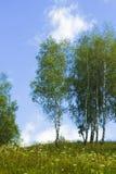Paisaje con los árboles de abedul jovenes Fotos de archivo