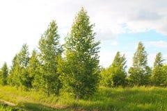 Paisaje con los árboles de abedul jovenes Fotografía de archivo