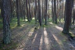 Paisaje con los árboles de pino en un día soleado Imagenes de archivo