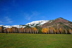 Paisaje con los abedules amarillos y la montaña Imagen de archivo libre de regalías