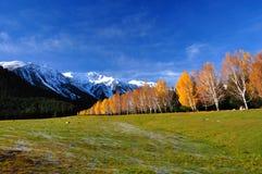 Paisaje con los abedules del otoño y el prado alpestre Fotos de archivo