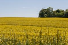 Paisaje con los campos amarillos en primavera Fotos de archivo libres de regalías