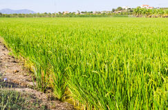 Paisaje con los campos del arroz Imagenes de archivo