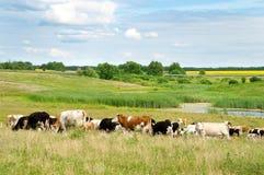 Paisaje con los campos y las vacas del pasto Foto de archivo