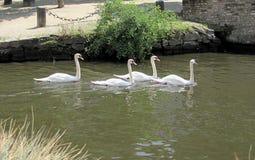 Paisaje con los cisnes en canal del agua en Brujas, Bélgica fotos de archivo libres de regalías