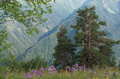Paisaje con los pino-árboles Fotografía de archivo libre de regalías