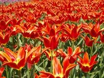 Paisaje con los tulipanes Imágenes de archivo libres de regalías