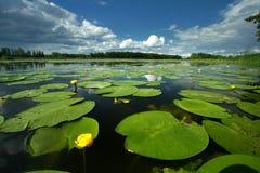 Paisaje con lutea del Nuphar del lirio de agua amarilla Imagen de archivo