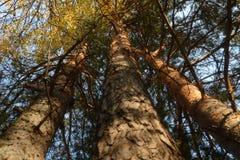 Paisaje con tres pinos Fotografía de archivo