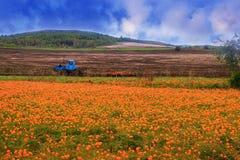 Paisaje con un campo brillante de flores anaranjadas foto de archivo