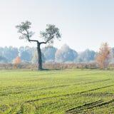 Paisaje con una situación inusual sola del árbol en el borde de un campo verde en la niebla de la mañana foto de archivo libre de regalías