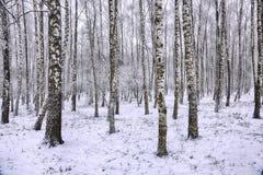 Paisaje congelado del bosque del abedul Imagenes de archivo