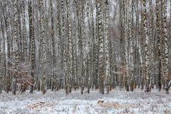 Paisaje congelado del bosque del abedul Foto de archivo