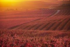 Paisaje de Aitona en la puesta del sol Vista que sorprende del campos grandes de los ?rboles de melocot?n en la floraci?n en la p imagen de archivo