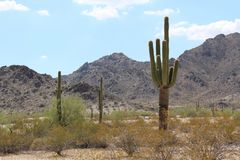 Paisaje de Arizona con el cactus del Saguaro foto de archivo libre de regalías