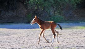 Paisaje de Arizona con los caballos salvajes del río Salt Fotos de archivo libres de regalías