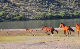 Paisaje de Arizona con los caballos salvajes del río Salt Imagenes de archivo
