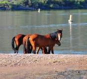 Paisaje de Arizona con los caballos salvajes del río Salt Fotografía de archivo libre de regalías