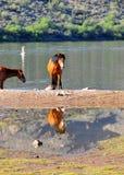 Paisaje de Arizona con los caballos salvajes del río Salt Foto de archivo libre de regalías