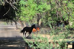 Paisaje de Arizona con los caballos salvajes del río Salt Imagen de archivo