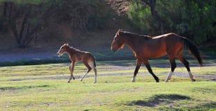 Paisaje de Arizona con los caballos salvajes del río Salt Imagen de archivo libre de regalías