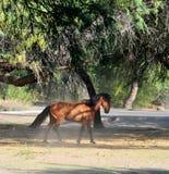 Paisaje de Arizona con los caballos salvajes del río Salt Fotografía de archivo