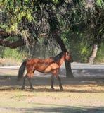 Paisaje de Arizona con los caballos salvajes del río Salt Fotos de archivo