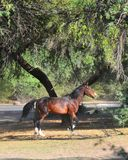 Paisaje de Arizona con los caballos salvajes del río Salt foto de archivo