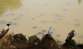 Paisaje de dos grises y palomas blancas y un cuervo, en fondo del lago con muchas tortugas de la tierra que nadan fotos de archivo