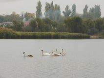 Paisaje de Fall River con los cisnes Foto de archivo libre de regalías