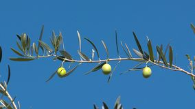 Paisaje de Grecia - Grecia Olive Tree metrajes