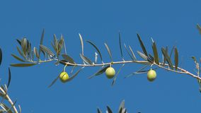 Paisaje de Grecia - Grecia Olive Tree 3 Fotos de archivo