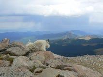 Paisaje de la cabra de montaña Fotografía de archivo