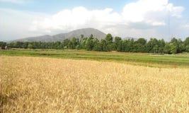 Paisaje de la cosecha del trigo imagen de archivo libre de regalías