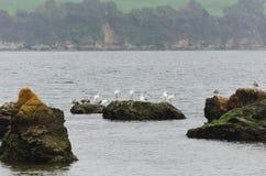 Paisaje de la costa con las garzas en las rocas Imagen de archivo