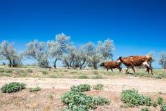 Paisaje de la estepa con los árboles y las vacas Fotos de archivo